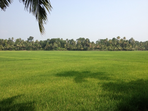 Rice paddy behind dad's house